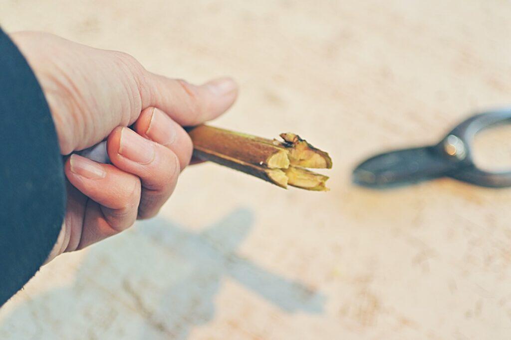 いけばな,枝物,割り,十文字,生け方,水揚げ,切口処理,桃の生け方
